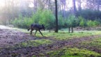 Nu ook wolf gespot in Maasmechelen