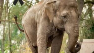 Overleden olifant Dumbo naar universiteit Gent voor wetenschappelijk onderzoek