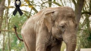 Planckendael moet afscheid nemen van olifant Dumbo