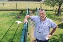 """Vos bijt zes kangoeroes dood in Bree: """"Ik doe 's nachts geen oog meer dicht"""""""