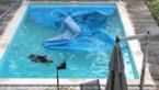 Everzwijn neemt plons in zwembad en moet door brandweer bevrijd worden