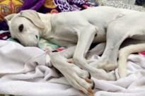 VIDEO. Truienaar regelt luchttransport voor verwaarloosde honden uit Qatar