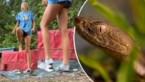 Cheerleader beseft te laat dat een giftige slang door het gras sluipt