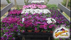 Comité Spurk kermis deelt bloemetjes uit