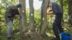 Vrijwilligers proberen zwaar beschadigde eiken te redden met houtschijfjes en veenmos