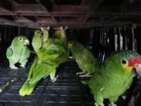 Dag na inbeslagname al interesse voor 17 exotische papegaaien