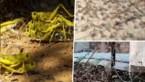 Naast pandemie krijgen India en Pakistan nu ook sprinkhanenplaag op hun bord