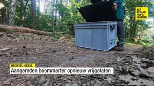 Zeldzame boommarter vrijgelaten na revalidatie in Natuurhulpcentrum