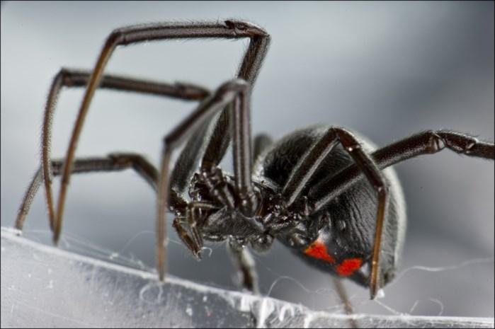 Jongens laten dodelijke spin bijten in de hoop Spiderman te worden