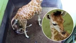 Deze schattige baby-giraf moet door het leven met een weinig flatterende naam
