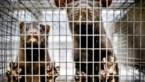 40.000 nertsen worden afgemaakt na coronabesmetting in Nederlands-Limburg