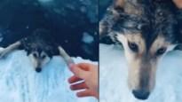 Man redt hond van verdrinkingsdood na zwempartij in bevroren rivier