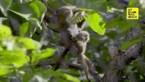 Een van 's werelds kleinste aapjes geboren in Wenen
