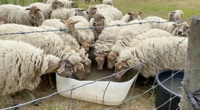 Dorstige schapen krijgen water van jonge boeren, herder krijgt boete