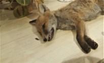 Man met geweer betrapt aan vossenburcht waar eerder vosje Sammie was neergeknald