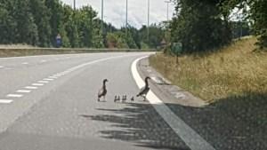 Eendenfamilie waggelt rustig de autosnelweg over