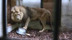 """""""Maanden zonder eten"""": NHC wil vijf zwaar verwaarloosde leeuwen uit Frans circus redden"""