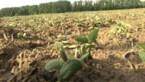 Biologische soja in Diepenbeek