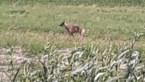 Wolf aangereden op ring rond Turnhout