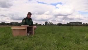 Primeur voor Vlaanderen: zeldzame grutto's en kievitten vrijgelaten in het Schulensbroek
