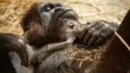 Gorillababy geboren in de Zoo van Antwerpen