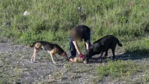 Loslopende honden doden reekalfje voor ogen van fotograaf op terril Winterslag