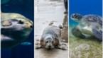 """Meer zeehonden en """"vreemde gasten"""" in Belgische Noordzee"""