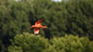 Rode ibis gespot in vijvergebied Midden-Limburg