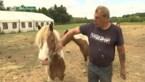 Truienaar Marcel mag vanaf 2023 niet meer op de kermis staan met zijn pony's