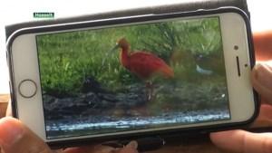 Rode Ibis die waarschijnlijk uit Planckendael ontsnapte verblijft nu op abdijsite Herkenrode