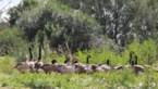 """Dit jaar geen Canadese ganzen vernietigd in Limburg: """"Verdelging zal nodig blijven"""""""