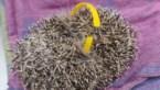 Jong egeltje sterft door ring van plastic fles: opnieuw blijkt zwerfvuil fataal voor wild dier