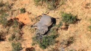 Honderden olifanten vallen plots mysterieus dood: overheid Botswana staat voor raadsel