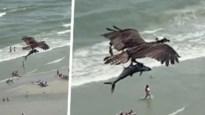 """Indrukwekkende video toont hoe roofvogel met opvallend grote prooi boven strand vliegt: """"Is dat een haai?"""""""