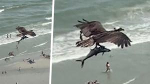 """Roofvogel vliegt met opvallend grote prooi boven strand: """"Is dat een haai?"""""""