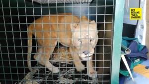 Natuurhulpcentrum redt nu ook vier leeuwinnen uit Frans circus