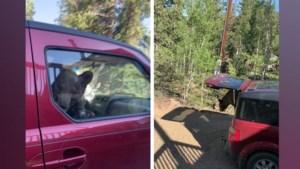 Plotseling zit er een beer in je auto