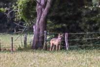 Wolf Billy gespot in 's Gravenvoeren