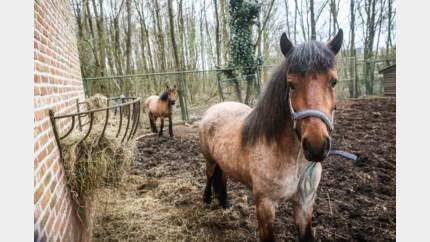 Paarden breken uit in Dilsen-Stokkem
