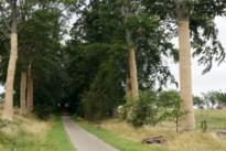 Beukenbomen kasteeldreef krijgen jasje van jute tegen zonnebrand