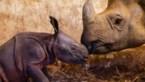 Waarom een babydier altijd schattig is, zelfs een neushoorn