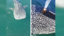 Lieve haai vraagt om aaitje op zijn rug