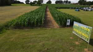 De nieuwste fietsattractie voor Limburg: fietsen door de mais