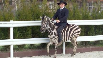 Zorro de zebra, met de kuren van een diva