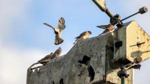 Familie torenvalken woont in oude windturbine