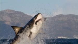 Opgegeten door orka's, vervuiling door de mens of een andere oorzaak: waar zijn de haaien van Kaapstad naartoe?