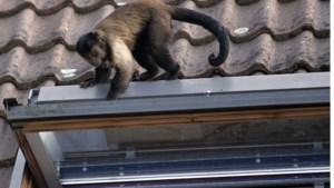"""De knotsgekke klopjacht in Bocholt: """"Ik zei nog tegen mijn broer: 'Miljaar, mijn apen zijn los'"""