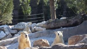Pairi Daiza stelt nieuwe bewoners voor: twee ijsberen uit Denemarken