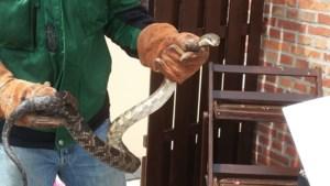 Zwarte rattenslang gevonden langs huis in Zolder