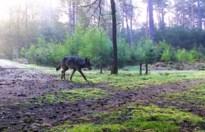 Wolf pakt vier damherten in Erpekom